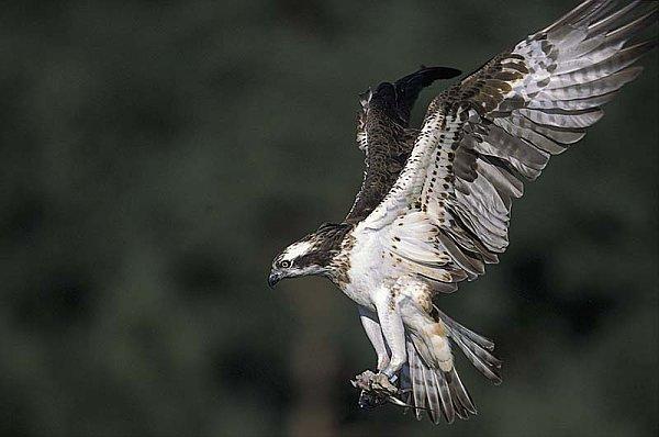 Fischadler Pandion haliaetus : MEROS - Monitoring ...